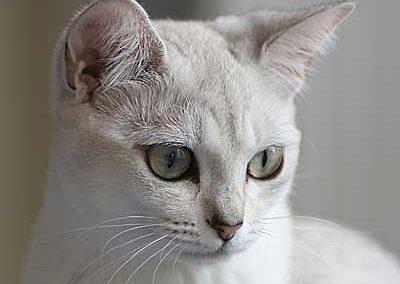 gato burmilla ojos azules