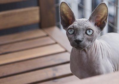 gato esfinge blanco ojos azules