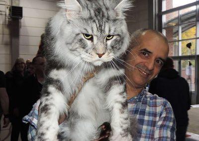 gato gigante maine coon precio