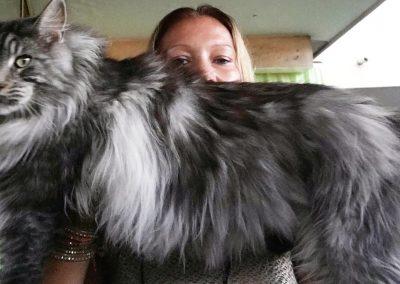 gato gigante raza maine coon