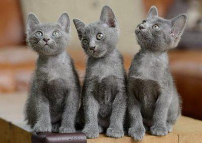 gato korat o azul ruso