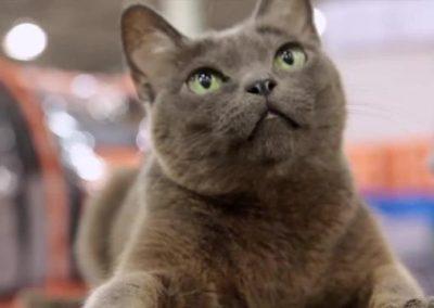 gato korat personalidad