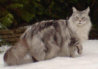 gato maine coon blanco