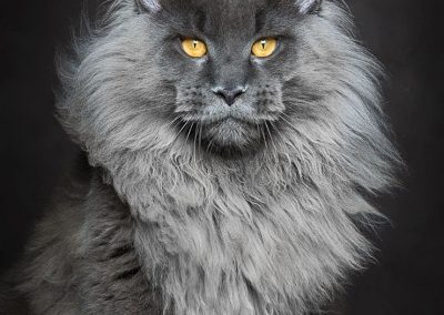 gato maine coon esperanza de vida