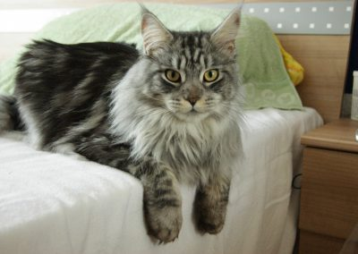 gato maine coon vs normal