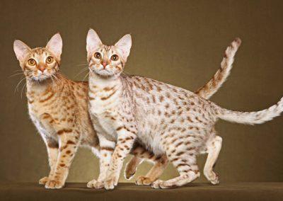 gato ocicat caracteristicas