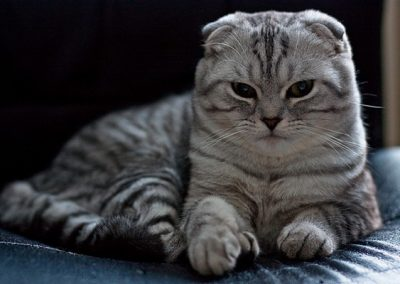gato scottish fold comprar