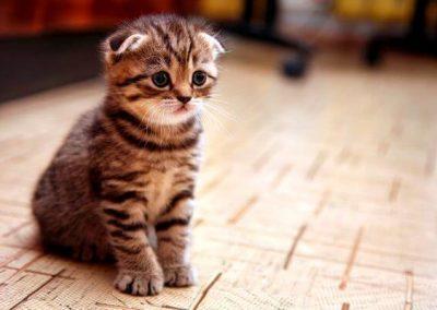 gato scottish fold criadero barcelona