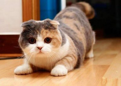 gato scottish fold temperamento
