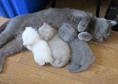 gatos azul ruso recien nacidos