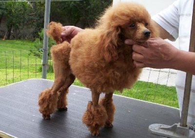 hasta que tamaño crecen los poodle mini toy
