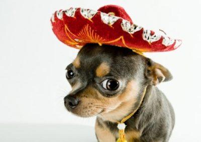 imagenes de cachorros chihuahua cabeza de venado