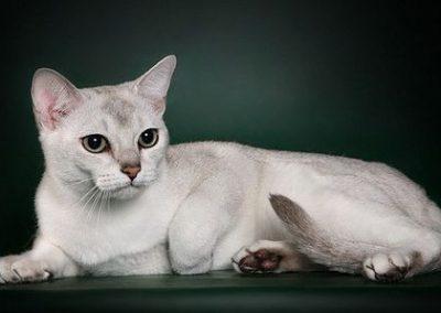 imagenes de gatos burmilla