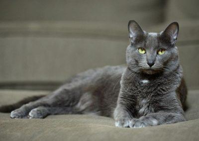 imagenes de gatos korat