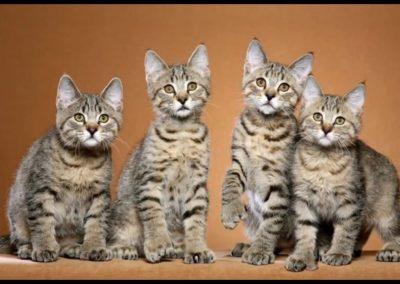 imagenes de gatos pixie bob