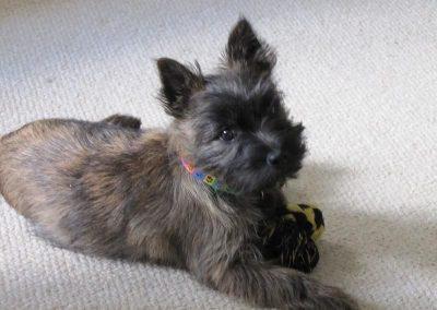 imagenes de perros cairn terrier