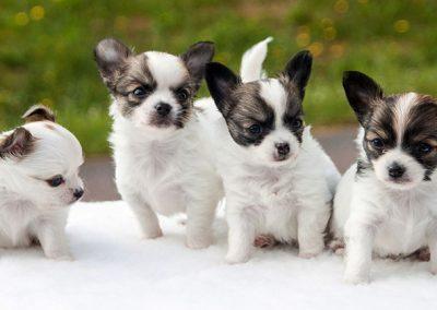 imagenes de perros chihuahua cruzados con french poodle