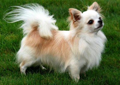 imagenes de perros chihuahua peludos