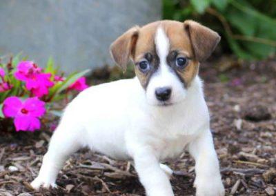 imagenes de perros de raza jack russell terrier
