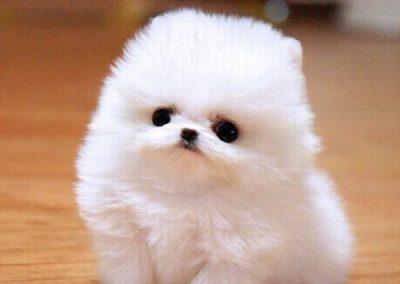 imagenes de perros de raza pequeña pomerania