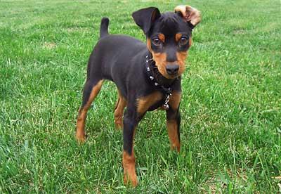 imagenes de perros pincher mini