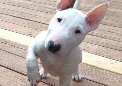 imagenes de un bull terrier