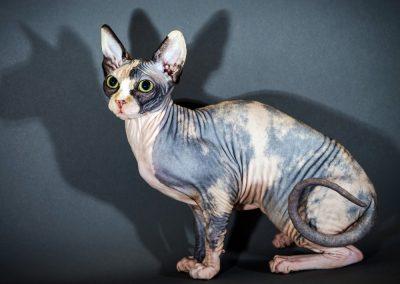 informacion sobre el gato esfinge