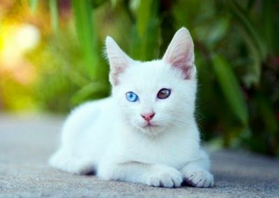 khao manee blue eyes