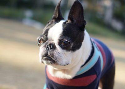para que sirve el perro boston terrier