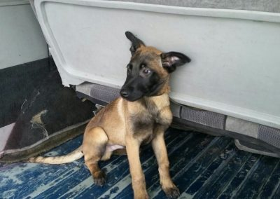 pastor belga malinois cachorro 3 meses