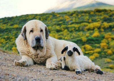 perro mastin
