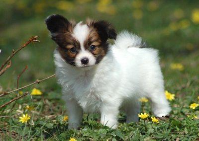 perro papillon cachorro