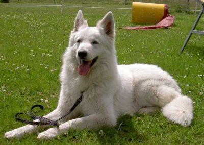 perro pastor belga cachorro blanco