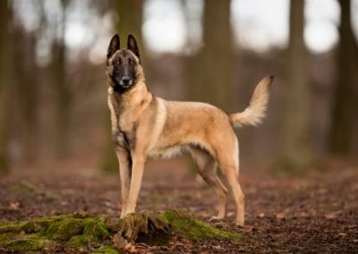 perro pastor belga malinois caracteristicas