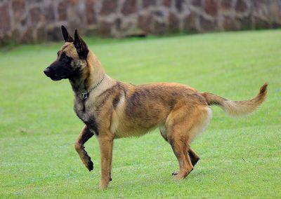 perro pastor belga malinois precio
