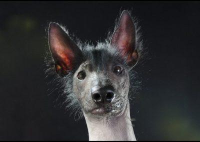 perro real de la raza xoloitzcuintle