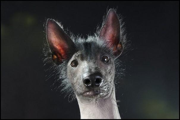 perro-pila-mexicano.jpg