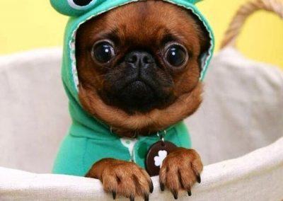 perros pug bebes disfrazados