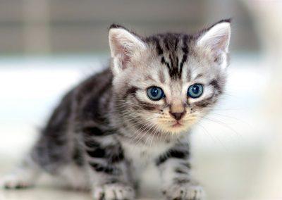 precio de gato american shorthair