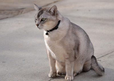 precio del gato burmilla