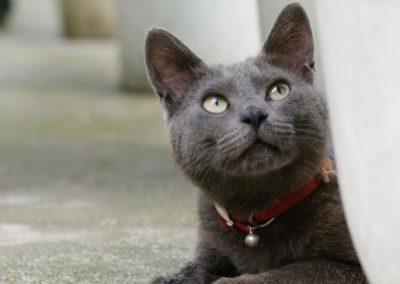 que come el gato korat