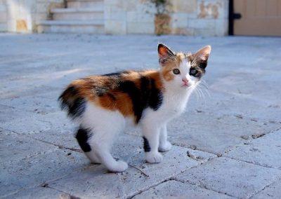 que es un gato manx