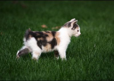 quiero comprar un gato manx