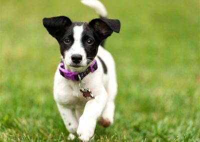 quiero comprar un perro jack russell terrier