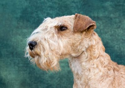lakeland terrier caracter