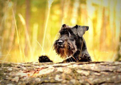 raza de perros schnauzer miniatura comportamiento
