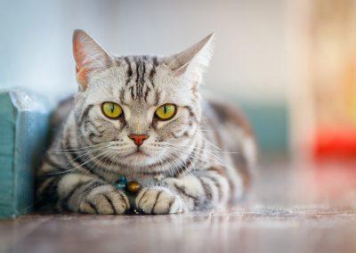 raza de gato american shorthair