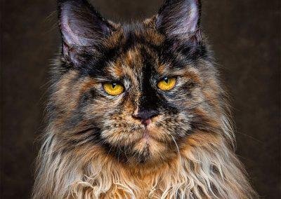 raza de gato maine coon precio