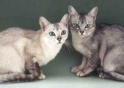 raza de gatos burmilla