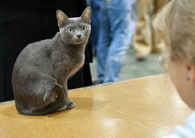 raza de gatos korat